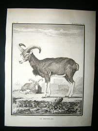 Buffon: C1770 Big Horn Muffon Sheeps, Antique Print