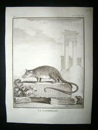 Buffon: C1770 Cayopollin, Antique Print