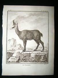 Buffon: C1770 Chamois, Antique Print
