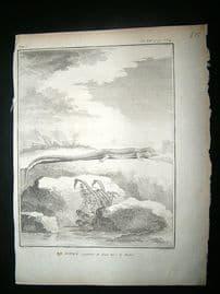 Buffon: C1770 Dore Lizard, Antique Print