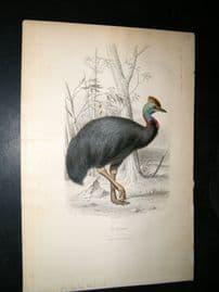 Buffon C1855 Antique Hand Col Bird Print. Gassowarg