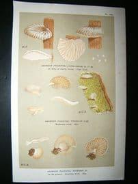 Cooke British Fungi 1880's Antique Mushroom Print. Agaricus Acerosus 242