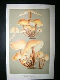 Cooke British Fungi 1880's Antique Mushroom Print. Agaricus Acervatus 267