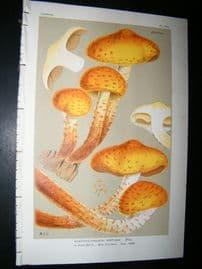 Cooke British Fungi 1880's Antique Mushroom Print. Agaricus Adiposus 353
