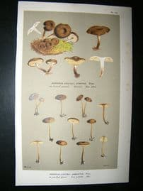 Cooke British Fungi 1880's Antique Mushroom Print. Agaricus Ambustus 155