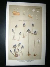 Cooke British Fungi 1880's Antique Mushroom Print. Agaricus Atro Cyaneus 236
