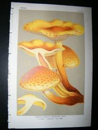 Cooke British Fungi 1880's Antique Mushroom Print. Agaricus Aurivellus351
