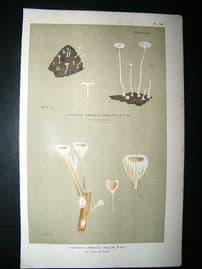 Cooke British Fungi 1880's Antique Mushroom Print. Agaricus Belliae 251