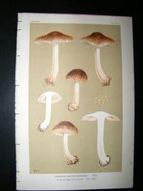 Cooke British Fungi 1880's Antique Mushroom Print. Agaricus Bongardii 381
