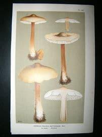 Cooke British Fungi 1880's Antique Mushroom Print. Agaricus Butyraceus 143