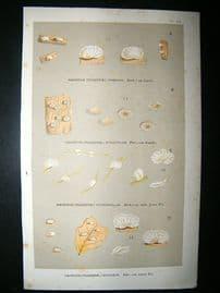 Cooke British Fungi 1880's Antique Mushroom Print. Agaricus Chioneus 212