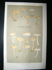 Cooke British Fungi 1880's Antique Mushroom Print. Agaricus Clusilis 247