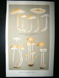 Cooke British Fungi 1880's Antique Mushroom Print. Agaricus Confluens 150