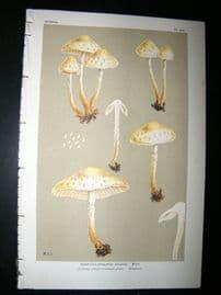 Cooke British Fungi 1880's Antique Mushroom Print. Agaricus Cookei 354