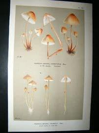 Cooke British Fungi 1880's Antique Mushroom Print. Agaricus Cruentus 162