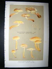 Cooke British Fungi 1880's Antique Mushroom Print. Agaricus Curvipes 370