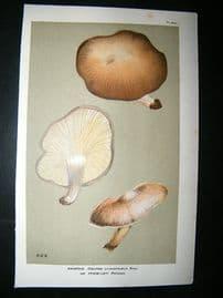 Cooke British Fungi 1880's Antique Mushroom Print. Agaricus Cyanophaeus 264