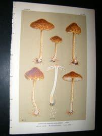 Cooke British Fungi 1880's Antique Mushroom Print. Agaricus Deglubens 394