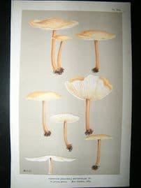 Cooke British Fungi 1880's Antique Mushroom Print. Agaricus Dryophilus 204