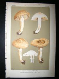 Cooke British Fungi 1880's Antique Mushroom Print. Agaricus Durus 423