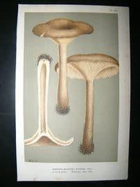 Cooke British Fungi 1880's Antique Mushroom Print. Agaricus Ectypus 126