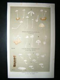 Cooke British Fungi 1880's Antique Mushroom Print. Agaricus Electicus 249