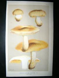 Cooke British Fungi 1880's Antique Mushroom Print. Agaricus Equestris 72