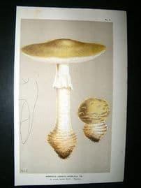 Cooke British Fungi 1880's Antique Mushroom Print. Agaricus Exelsus 7