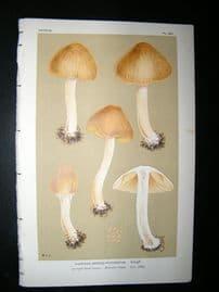 Cooke British Fungi 1880's Antique Mushroom Print. Agaricus Fastigiatus 383