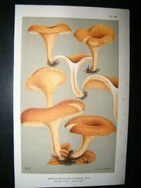 Cooke British Fungi 1880's Antique Mushroom Print. Agaricus Flaccidus 123