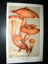 Cooke British Fungi 1880's Antique Mushroom Print. Agaricus Fusipes 141