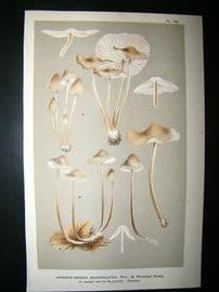 Cooke British Fungi 1880's Antique Mushroom Print. Agaricus Galericulatus 222