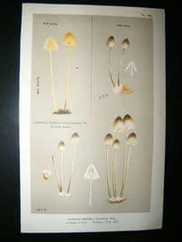 Cooke British Fungi 1880's Antique Mushroom Print. Agaricus Galopus 207