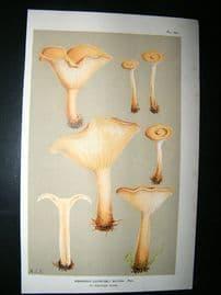 Cooke British Fungi 1880's Antique Mushroom Print. Agaricus Gilvus 136