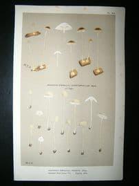 Cooke British Fungi 1880's Antique Mushroom Print. Agaricus Griseus 210
