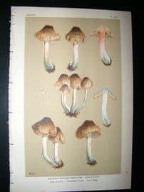 Cooke British Fungi 1880's Antique Mushroom Print. Agaricus Haemactus 390
