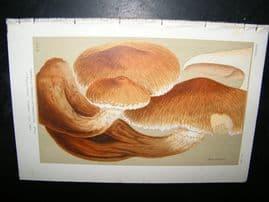 Cooke British Fungi 1880's Antique Mushroom Print. Agaricus Heteroclitus 366
