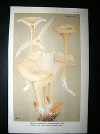Cooke British Fungi 1880's Antique Mushroom Print. Agaricus Hydrogrammmus 239