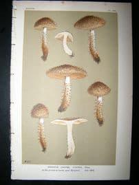 Cooke British Fungi 1880's Antique Mushroom Print. Agaricus Hystrix 424