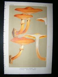 Cooke British Fungi 1880's Antique Mushroom Print. Agaricus Junonius 369