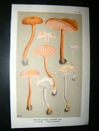 Cooke British Fungi 1880's Antique Mushroom Print. Agaricus Laccatus 139