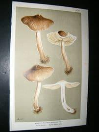 Cooke British Fungi 1880's Antique Mushroom Print. Agaricus Laceratus 269