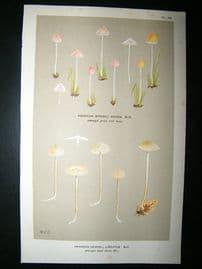 Cooke British Fungi 1880's Antique Mushroom Print. Agaricus Lineatus 185