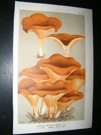 Cooke British Fungi 1880's Antique Mushroom Print. Agaricus Lobatus 137