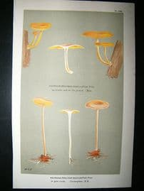 Cooke British Fungi 1880's Antique Mushroom Print. Agaricus Macilentus 268