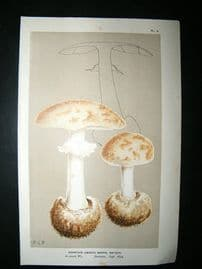 Cooke British Fungi 1880's Antique Mushroom Print. Agaricus Mappa, Batsch 4
