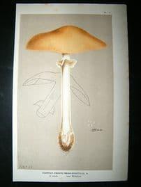 Cooke British Fungi 1880's Antique Mushroom Print. Agaricus Megalodactylus 11
