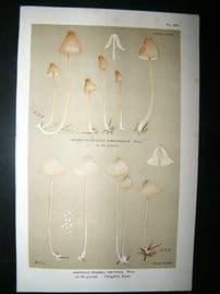 Cooke British Fungi 1880's Antique Mushroom Print. Agaricus Metatus 238