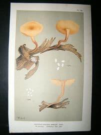 Cooke British Fungi 1880's Antique Mushroom Print. Agaricus Mimicus 129