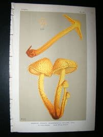 Cooke British Fungi 1880's Antique Mushroom Print. Agaricus Mulleri 471